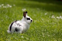 Dwerg konijn Stock Foto's