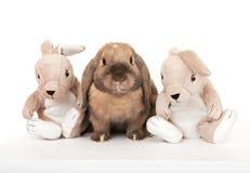 Dwerg konijn in het bedrijf van stuk speelgoed konijnen. Stock Afbeeldingen