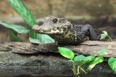 Dwerg krokodil royalty-vrije stock afbeeldingen