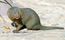Dwerg mongoes 1 Stock Foto
