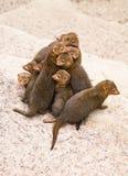 Dwerg mongoes Stock Afbeeldingen