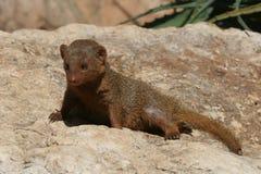 Dwerg mongoes Stock Fotografie