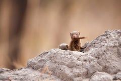 Dwerg Mongoes (parvula Helogale) Royalty-vrije Stock Afbeelding