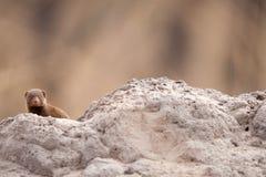 Dwerg Mongoes (parvula Helogale) Royalty-vrije Stock Foto