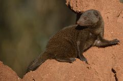 Dwerg Mongoes (parvula Helogale) Royalty-vrije Stock Fotografie