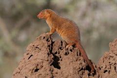 Dwerg mongoesschildwacht op termiethoop Royalty-vrije Stock Foto