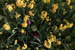 Dwerg narcissue, gele narcissenbloemen De lente eeuwigdurende installatie gemengd met Tulpen royalty-vrije stock afbeelding