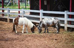 Dwerg Paard stock fotografie