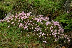Dwerg rododendron (rhodothamnuschamaecistus) Royalty-vrije Stock Fotografie