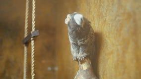 Dwerg wit-eared aap stock footage
