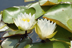 Dwerg Witte Waterlelie Royalty-vrije Stock Foto
