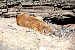 Dwergachtige mongoes Stock Foto