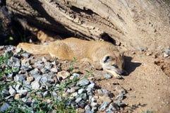Dwergachtige mongoes Royalty-vrije Stock Foto