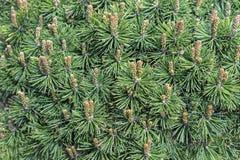 Dwergbergpijnboom Jonge spruiten van bergpijnboom royalty-vrije stock afbeeldingen