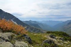 Dwergberk in de herfst, op de helling van de rand Barguzinsky  Royalty-vrije Stock Foto's