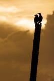 Dwergpapegaaien Stock Afbeeldingen