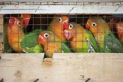 Dwergpapegaaien bij een lokale vogelmarkt klaar voor verzending Stock Afbeeldingen