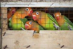 Dwergpapegaaien bij een lokale vogelmarkt klaar voor verzending aan huisdierenopslag Stock Foto