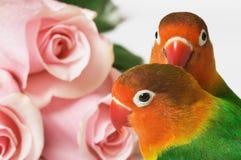 Dwergpapegaaien en roze rozen Royalty-vrije Stock Foto
