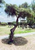 Dwergpijnboom in het centrale park van Nha Trang Vietnam Royalty-vrije Stock Afbeeldingen