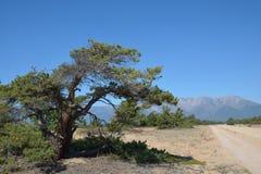 Dwergpijnboom op het zand van Meer Baikal Stock Fotografie