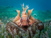 Dwergvin Lionfish op overzeese komkommer Stock Foto
