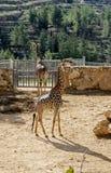 dwie żyrafy Fotografia Stock