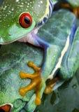 dwie żaby Obraz Royalty Free