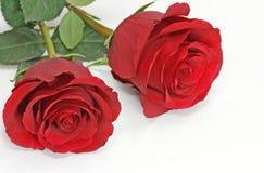 dwie czerwone róże Zdjęcia Stock