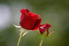 dwie czerwone róże Obrazy Stock