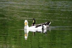 dwie kaczki Obrazy Royalty Free