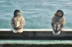 dwie kaczki Zdjęcia Royalty Free