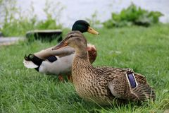 dwie kaczki Fotografia Stock