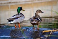 dwie kaczki Zdjęcie Stock