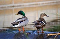 dwie kaczki Zdjęcie Royalty Free