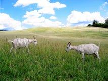 dwie kozy Zdjęcia Royalty Free