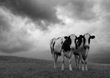 dwie krowy Fotografia Royalty Free