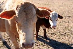 dwie krowy Zdjęcia Royalty Free