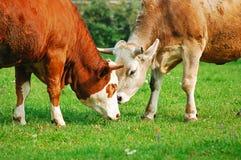 dwie krowy Zdjęcia Stock