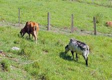 dwie krowy Zdjęcie Royalty Free
