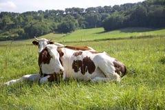 dwie krowy obraz stock