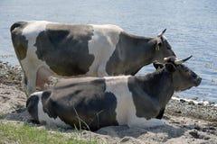 dwie krowy Obrazy Stock