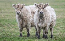dwie krowy Obrazy Royalty Free