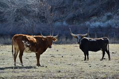 dwie krowy Zdjęcie Stock