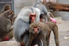dwie małpy Zdjęcia Royalty Free