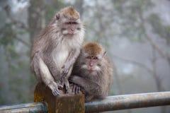 dwie małpy Obraz Royalty Free