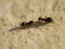 dwie mrówki. Zdjęcia Royalty Free