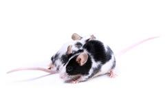 dwie myszy kierunek obraz royalty free