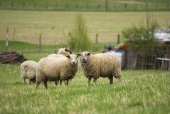 dwie owce Zdjęcia Stock