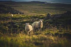 dwie owce Zdjęcie Stock